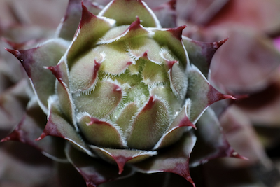 Houseleek Extract, Alpine Aloe Vera (Sempervivum tectorum)