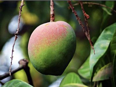 Wild Mango Butter (Irvingia gabonensis)